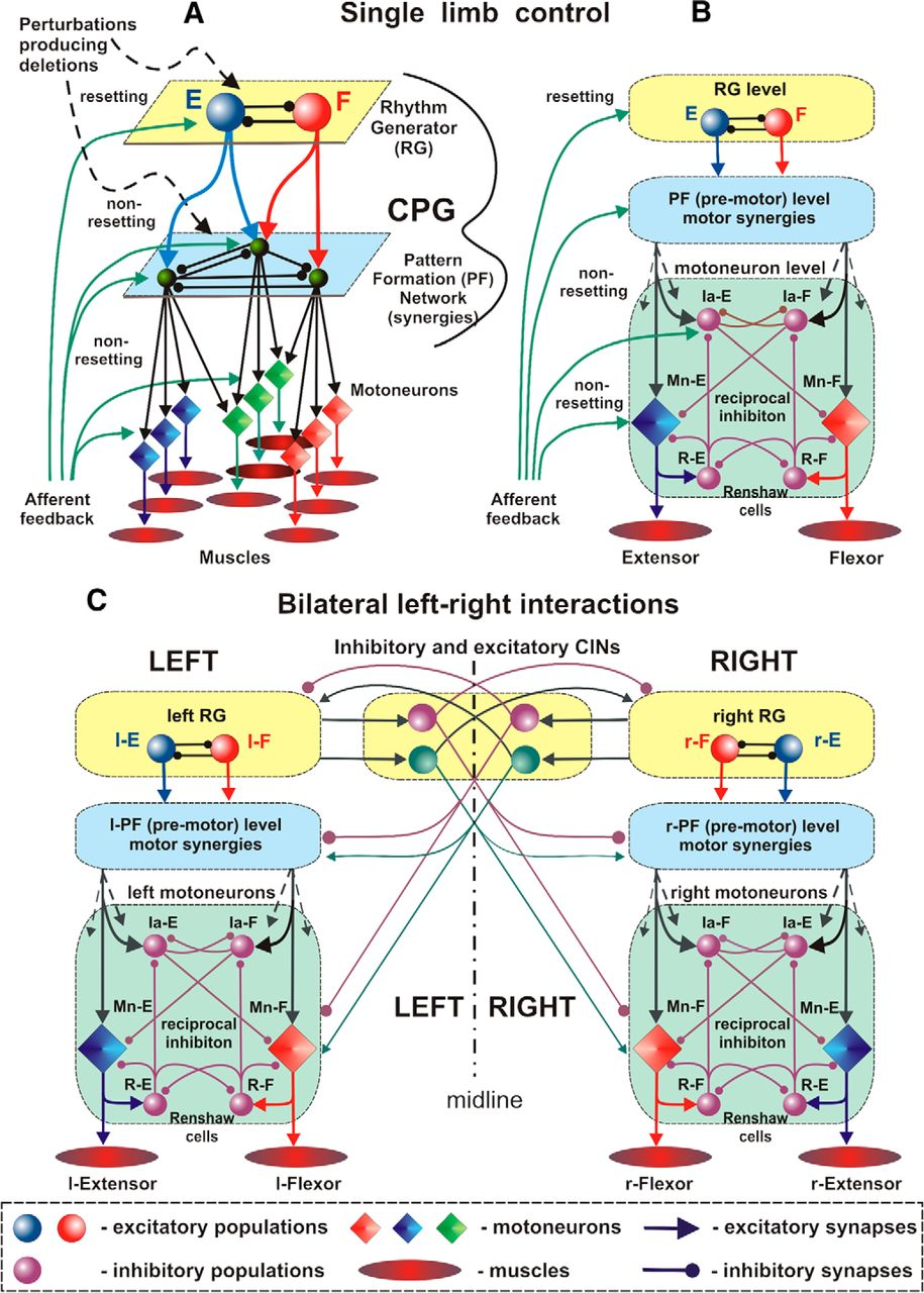 Organization Of The Mammalian Locomotor Cpg Review Computational Between Unilateral Circuits And Bilateral Its Functions Download Figure