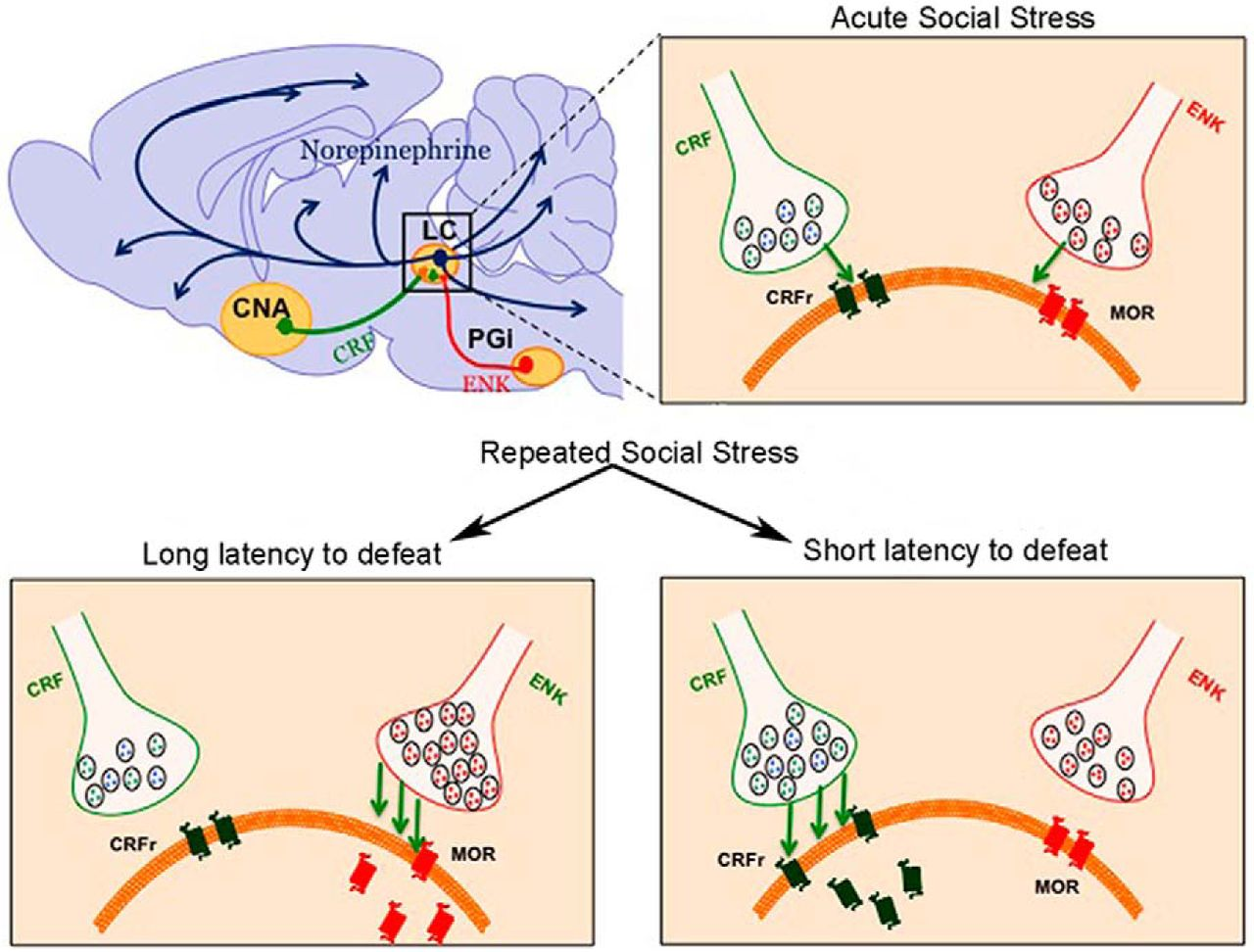 Social Stress Brain Circuitry Fails To >> Social Stress Engages Neurochemically Distinct Afferents To The Rat