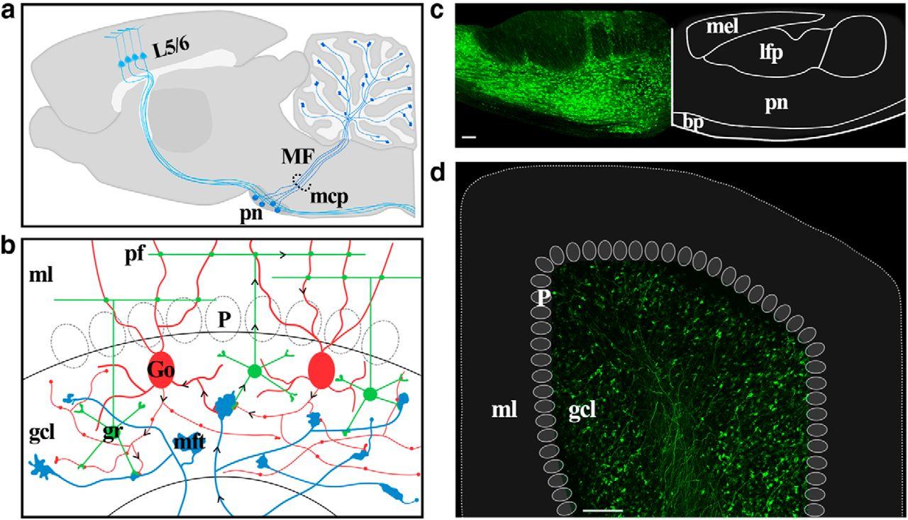 Chronic In Vivo Imaging Of Ponto Cerebellar Mossy Fibers Reveals Figure 2 Basic Structure The Neuronal Circuitry Cerebellum Download