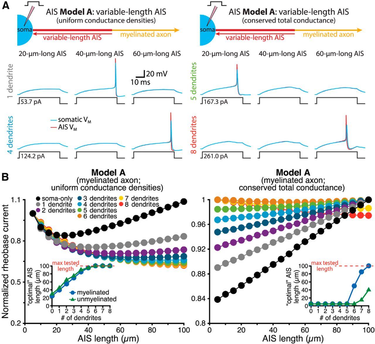 Neuron morphology influences axon initial segment plasticity eneuro download figure pooptronica Gallery