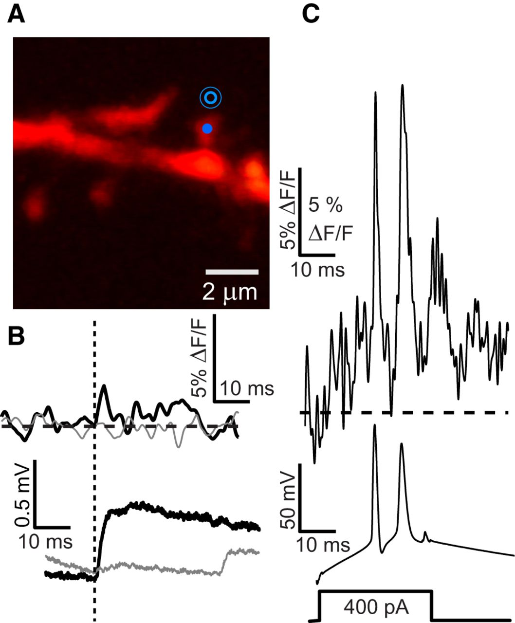 EPSPs Measured in Proximal Dendritic Spines of Cortical