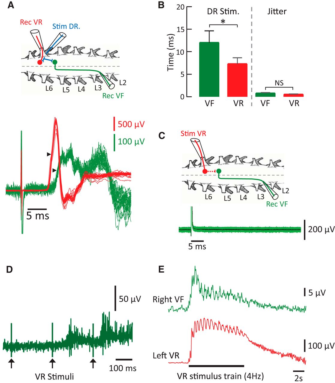 Interactions Between Dorsal And Ventral Root Stimulation On The