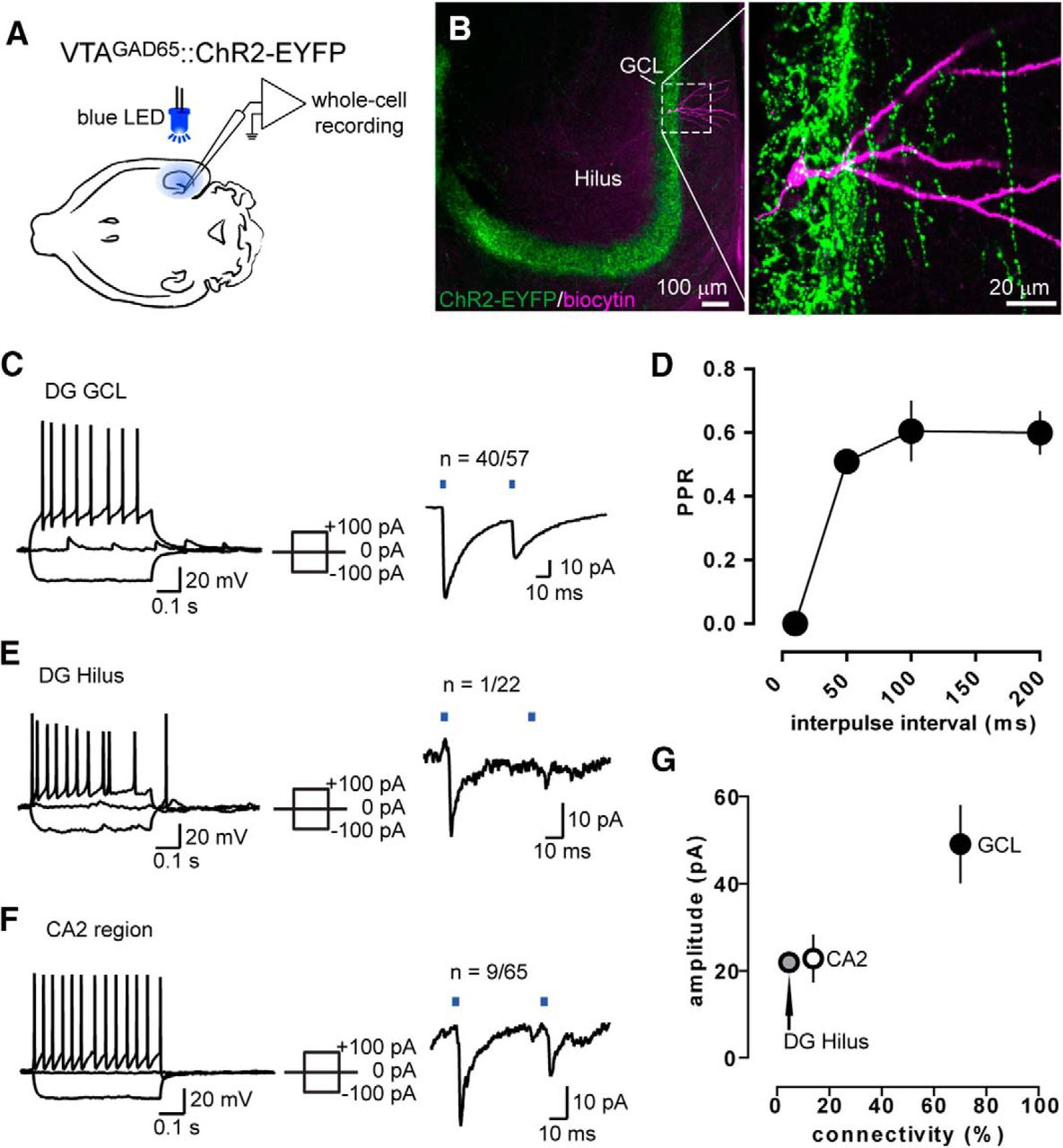 VTA Projection Neurons Releasing GABA and Glutamate in the Dentate ...