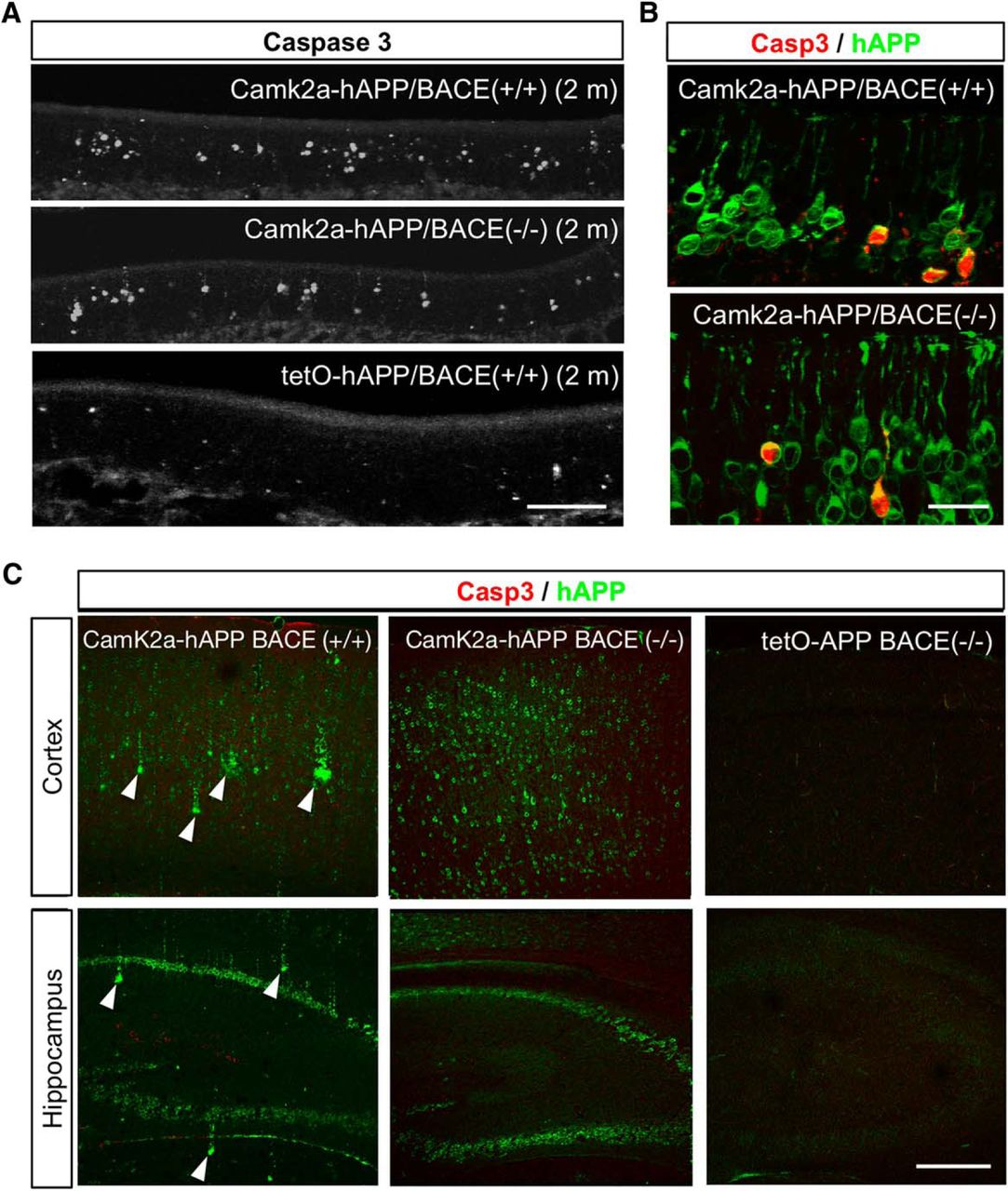 APP Overexpression Causes Aβ-Independent Neuronal Death
