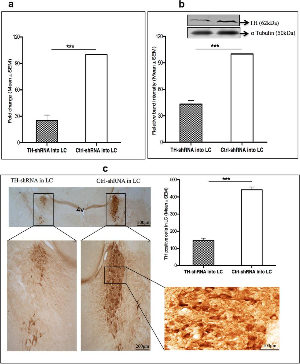 Noradrenaline from Locus Coeruleus Neurons Acts on Pedunculo