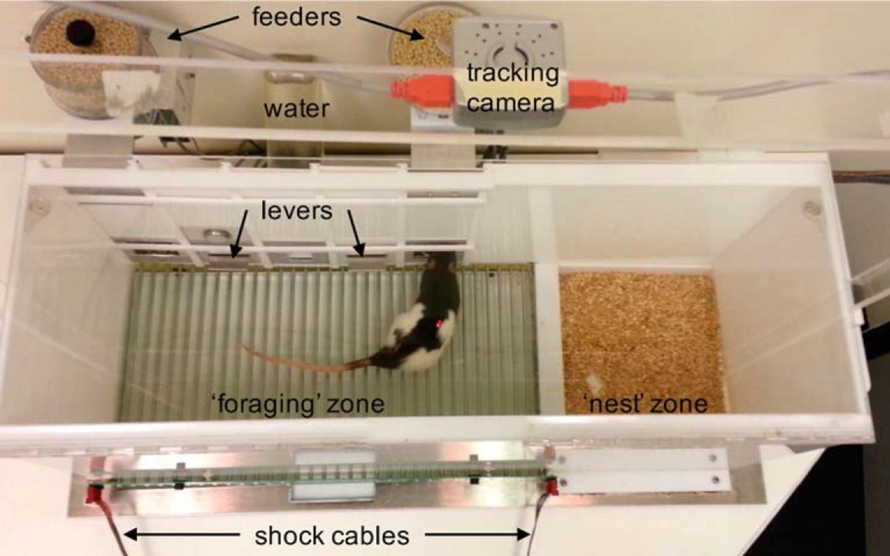 Sexually Dimorphic Risk Mitigation Strategies in Rats | eNeuro