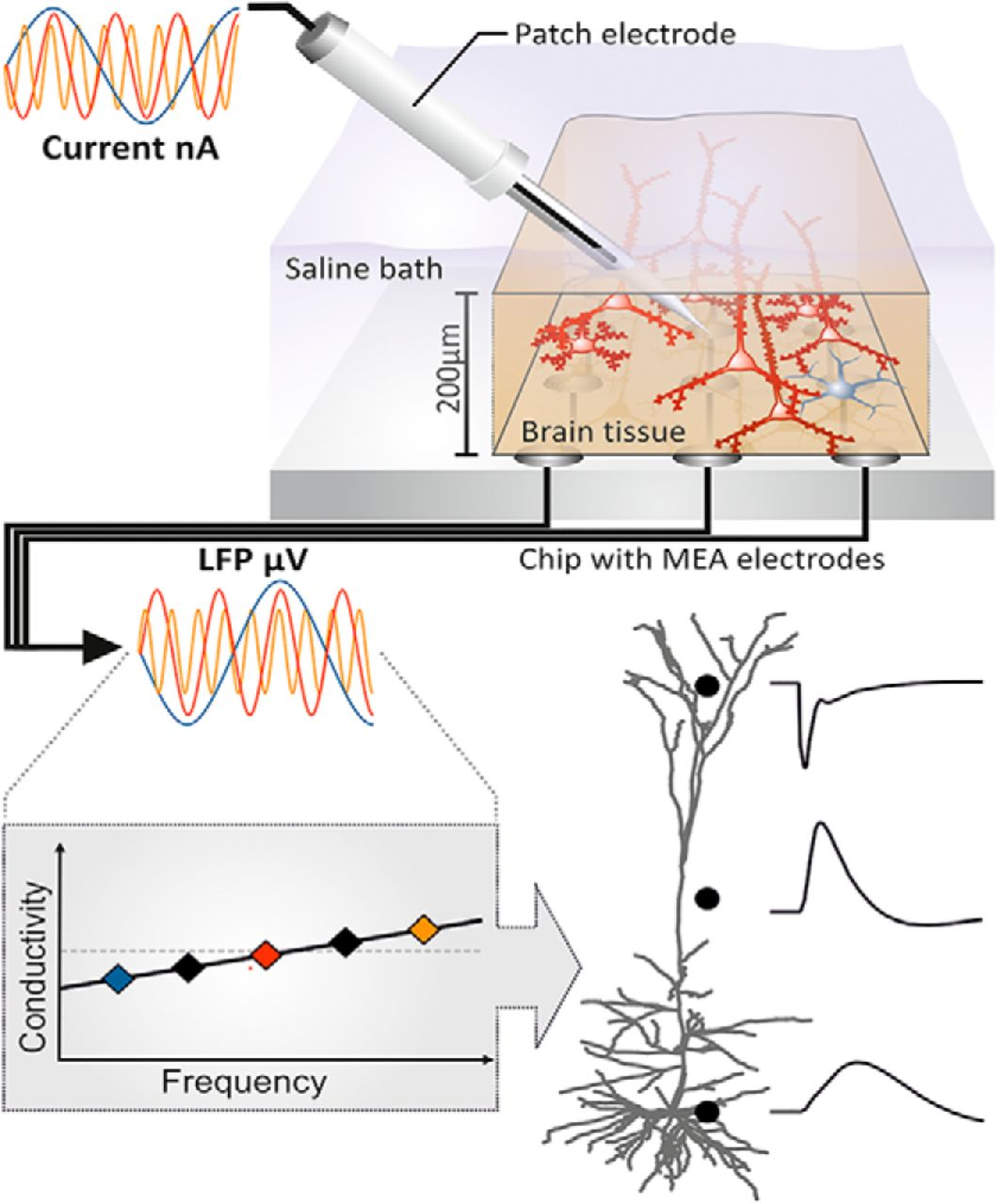 Impedance Spectrum in Cortical Tissue: Implications for
