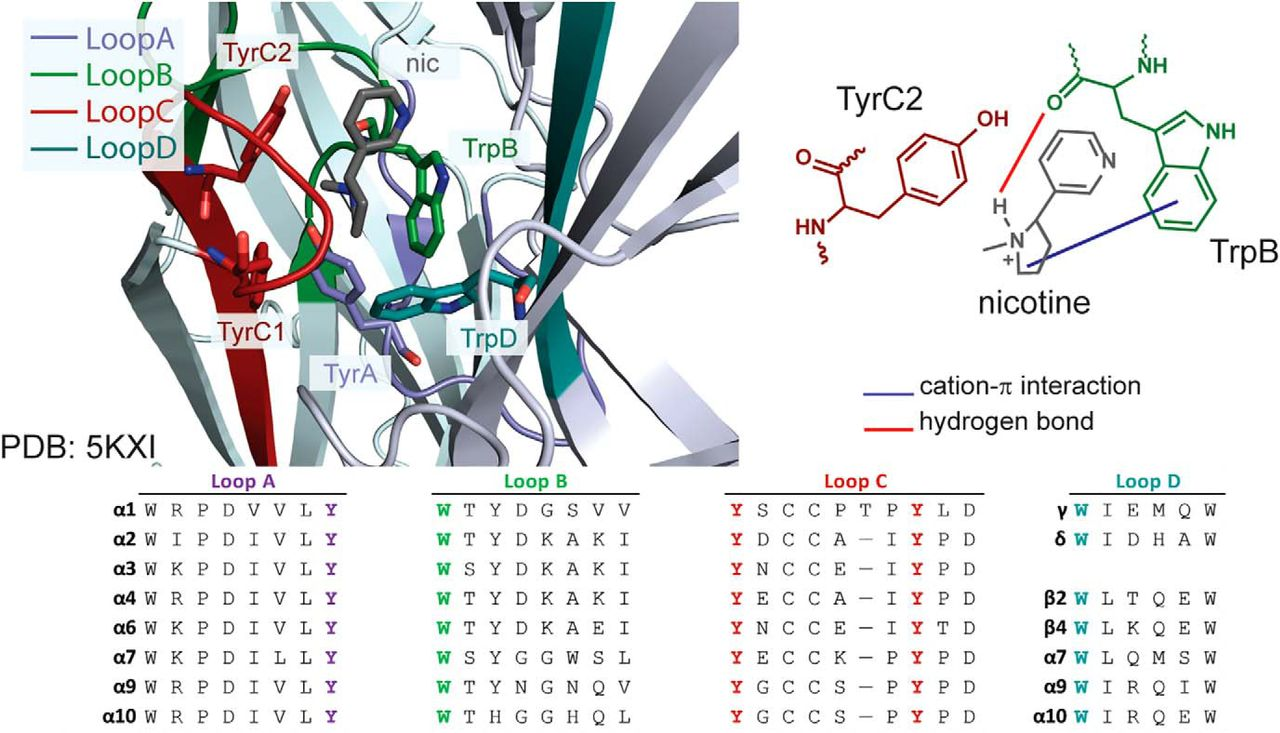 Secondary Ammonium Agonists Make Dual Cation-π Interactions in α4β2