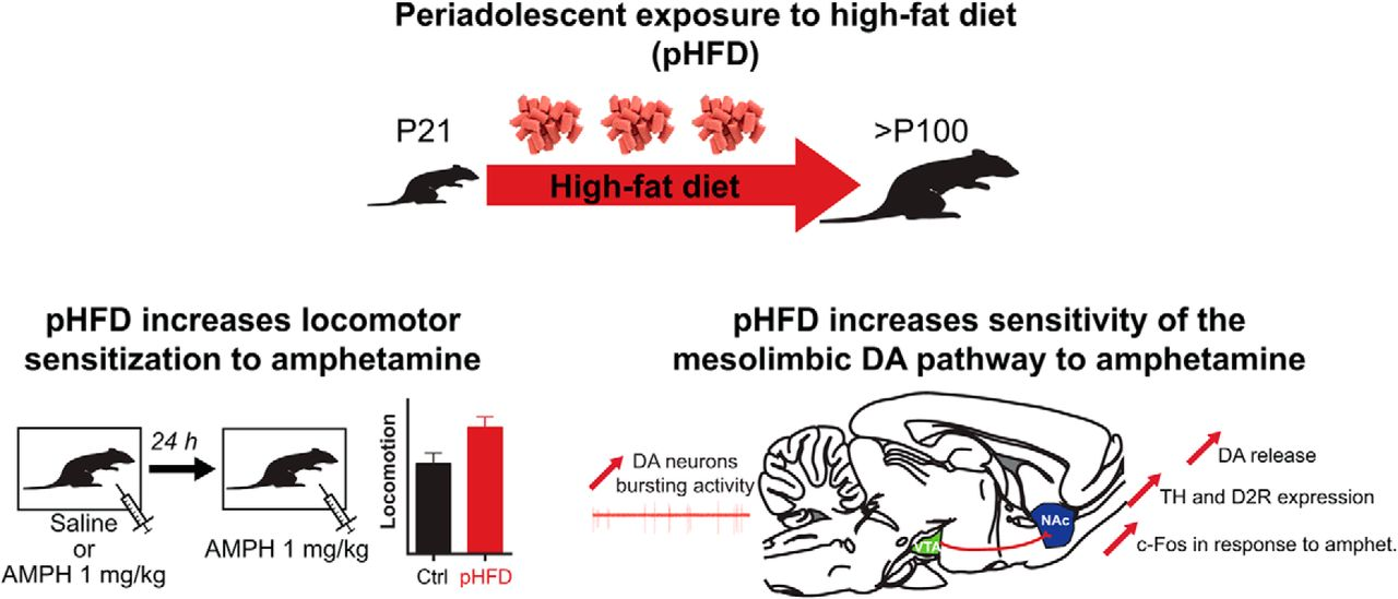 Impact Of Early Consumption Of High Fat Diet On The Mesolimbic
