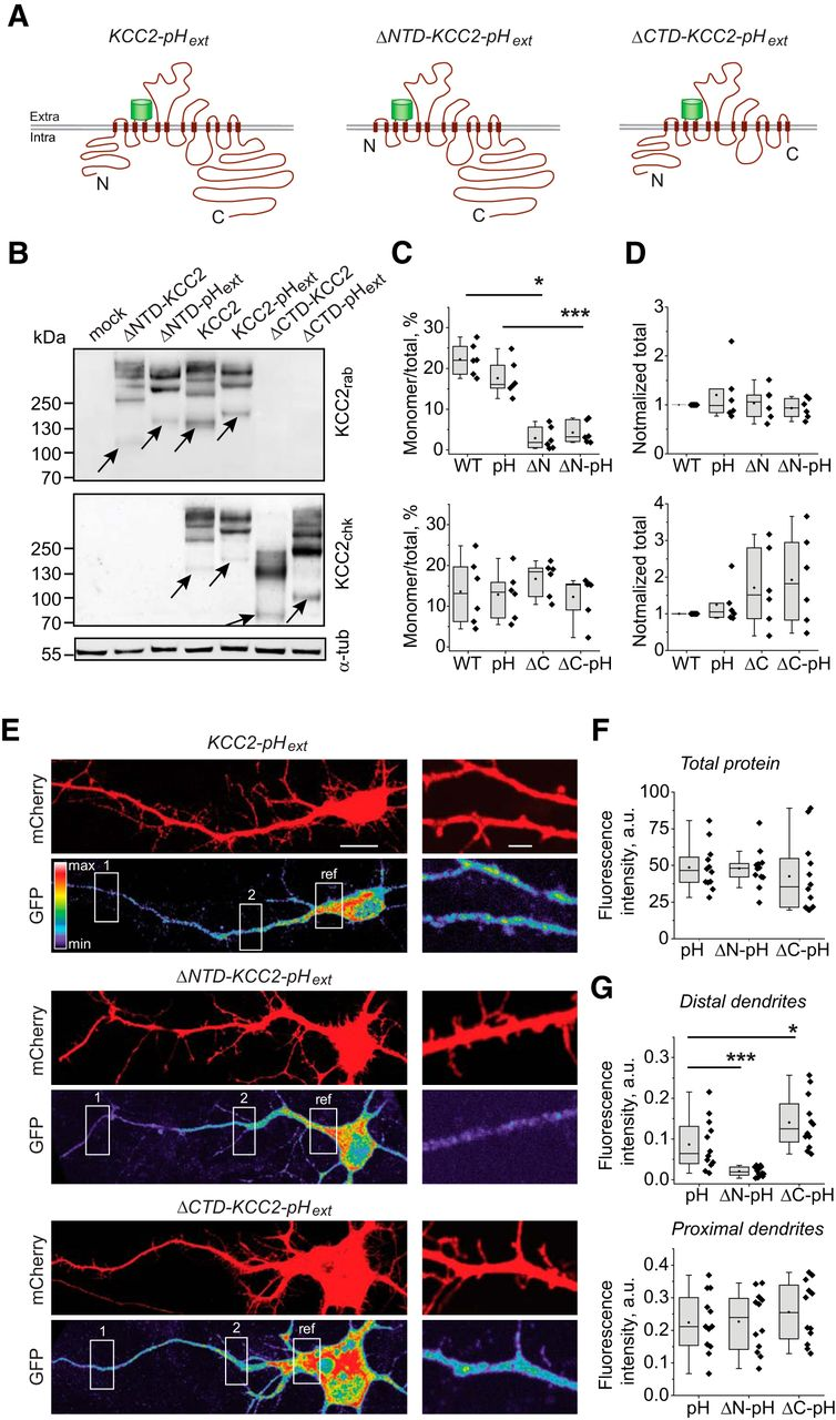 A Novel View on the Role of Intracellular Tails in Surface Delivery ...