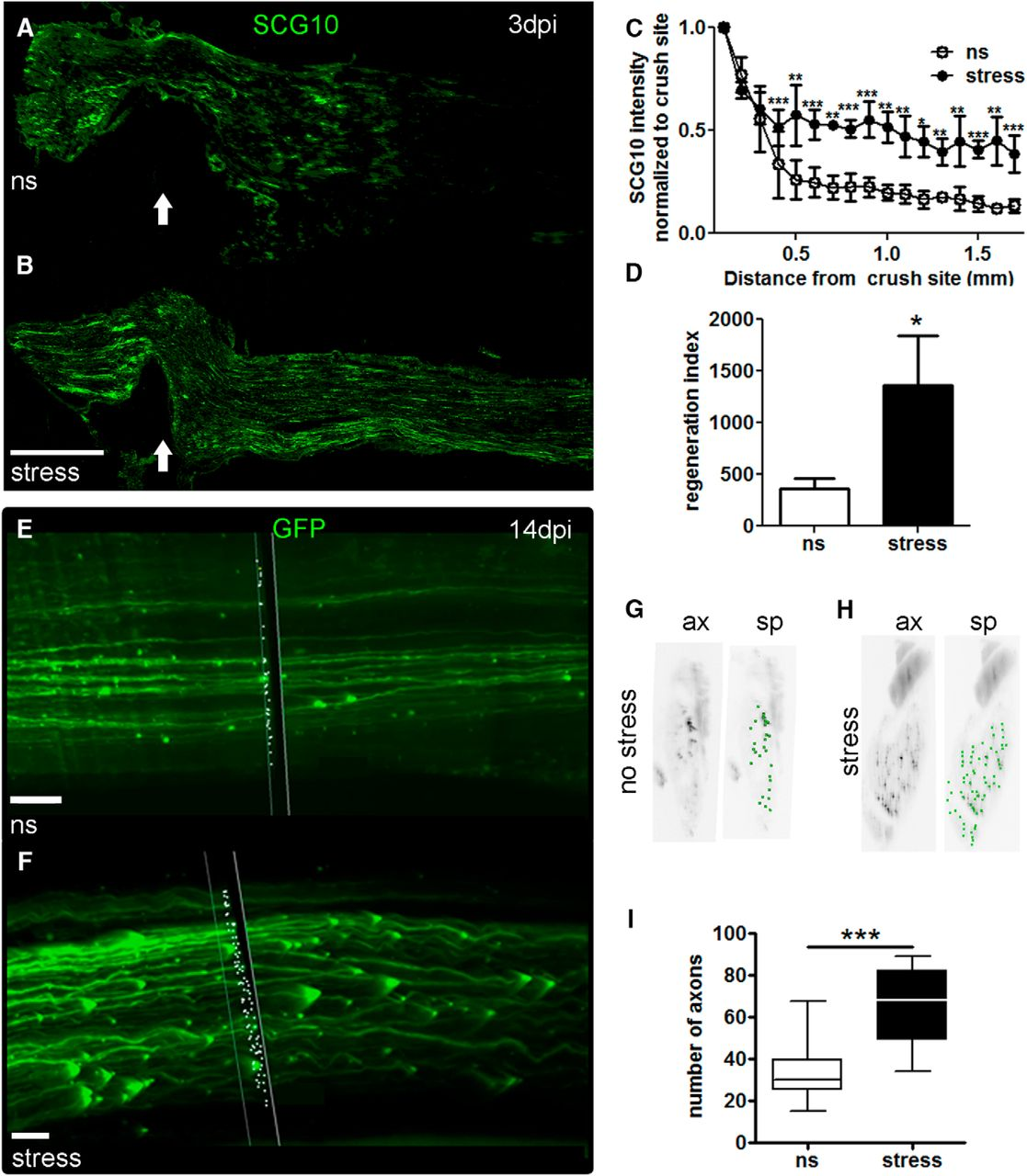 stress increases peripheral axon growth and regeneration