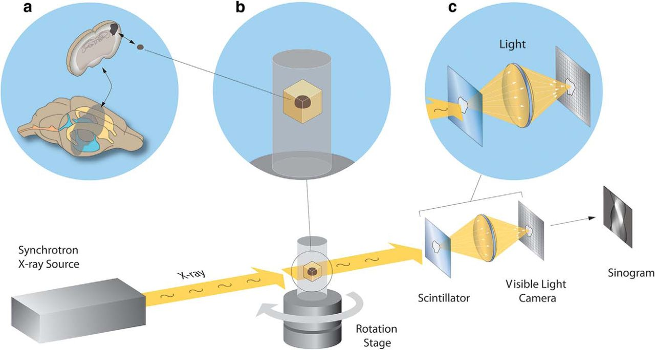 Quantifying Mesoscale Neuroanatomy Using X Ray Microtomography Eneuro Schematic Diagram Machine Download Figure