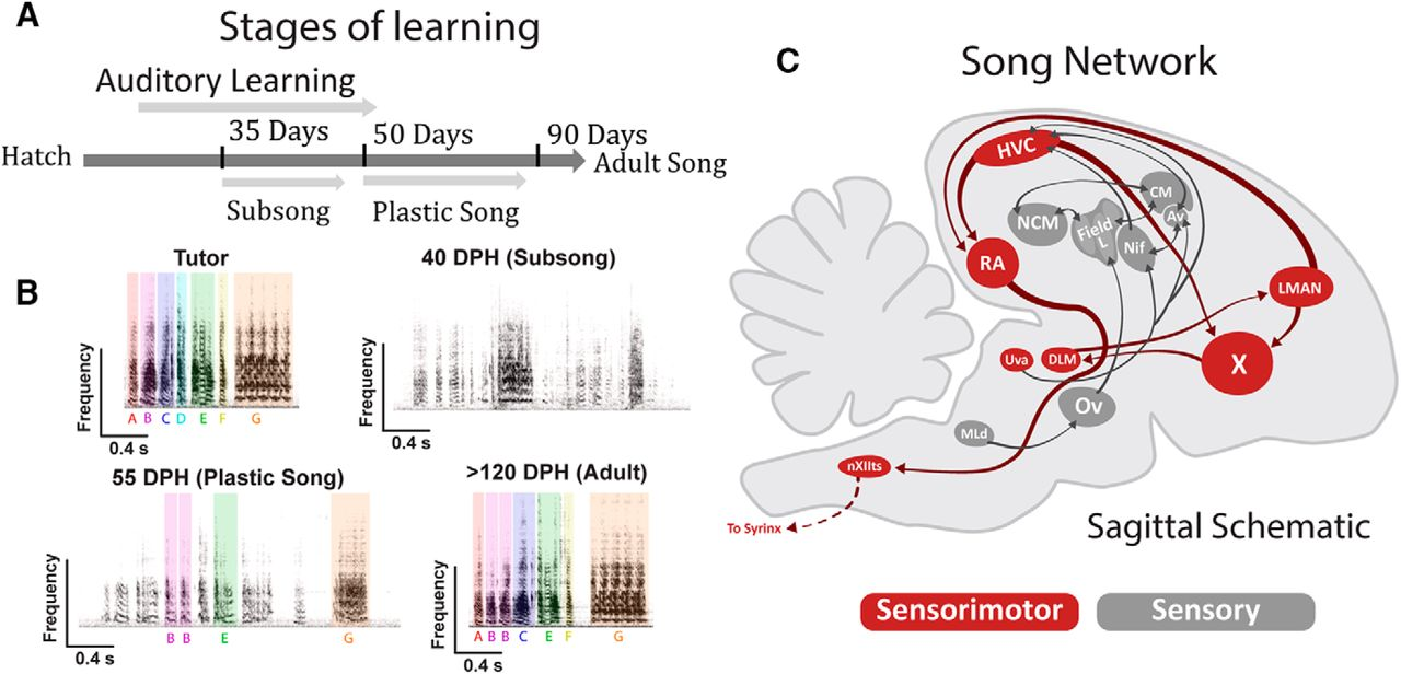 Neuronal Intrinsic Physiology Changes During Development Of A Bremis Switch Reversing Wiring Diagram Download Figure