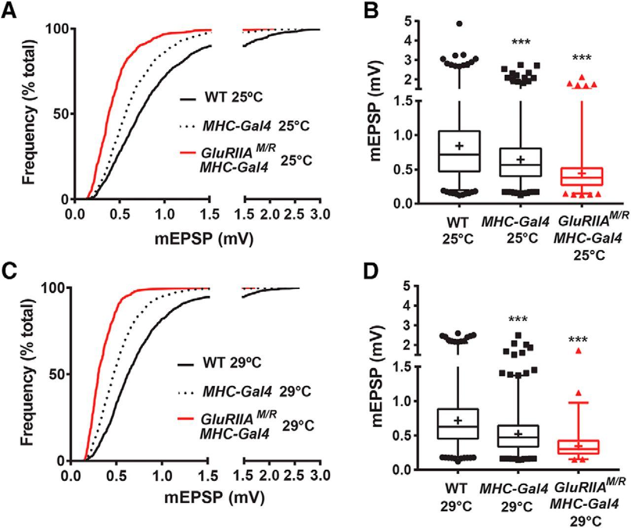 The Maintenance of Synaptic Homeostasis at the Drosophila