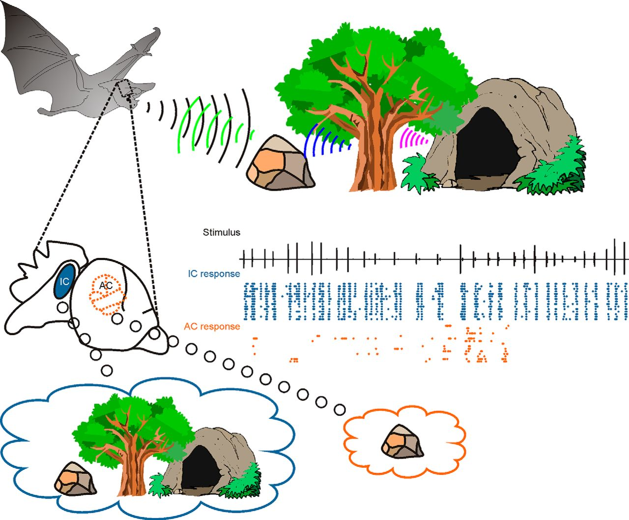 Processing of Natural Echolocation Sequences in the