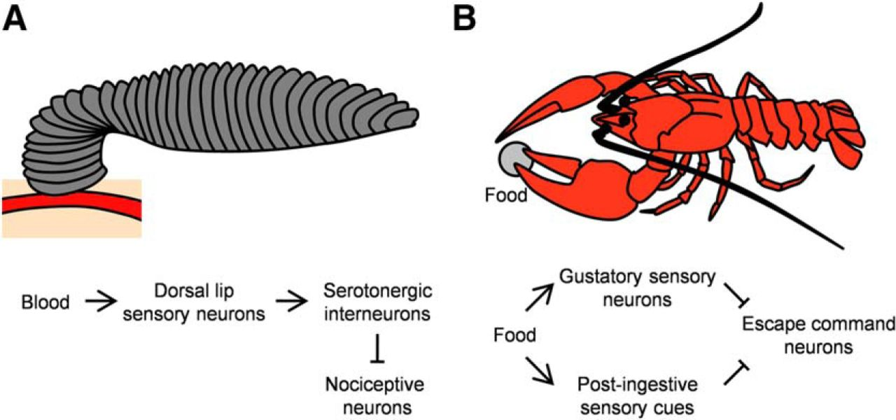 The Role Of The Gustatory System In The Coordination Of Feeding Eneuro
