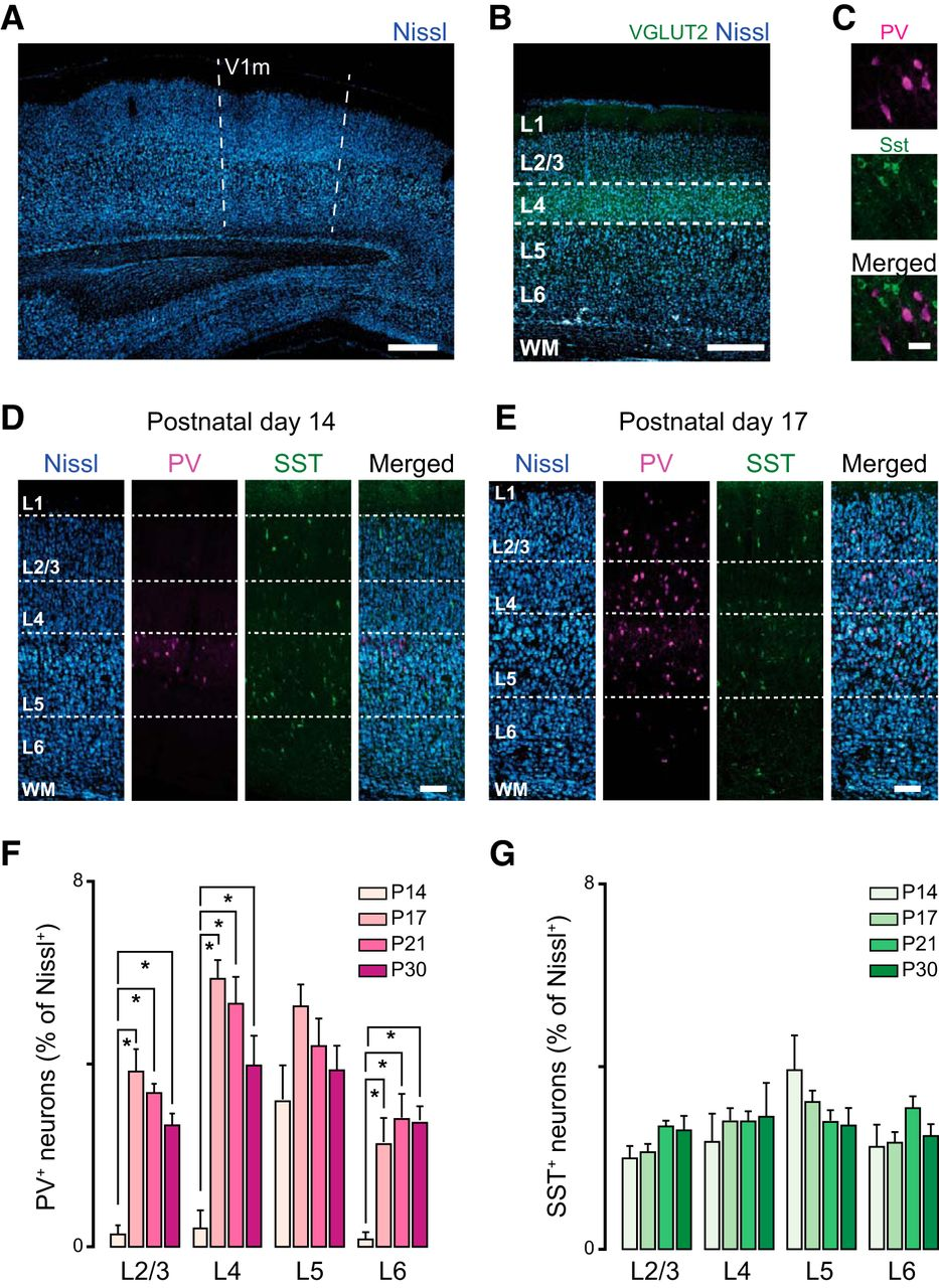 Layer-specific Developmental Changes in Excitation and