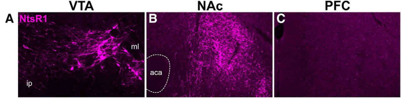 Identification of Neurotensin Receptor Expressing Cells in