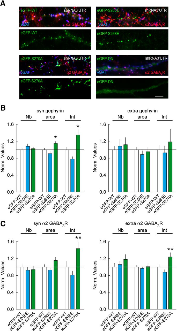 Activity-Dependent Inhibitory Synapse Scaling Is Determined
