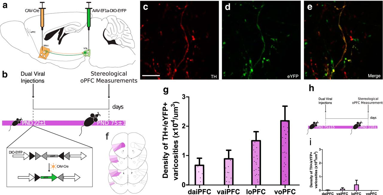 Insular Cortex Alterations In Mouse >> Dopamine Development In The Mouse Orbital Prefrontal Cortex Is