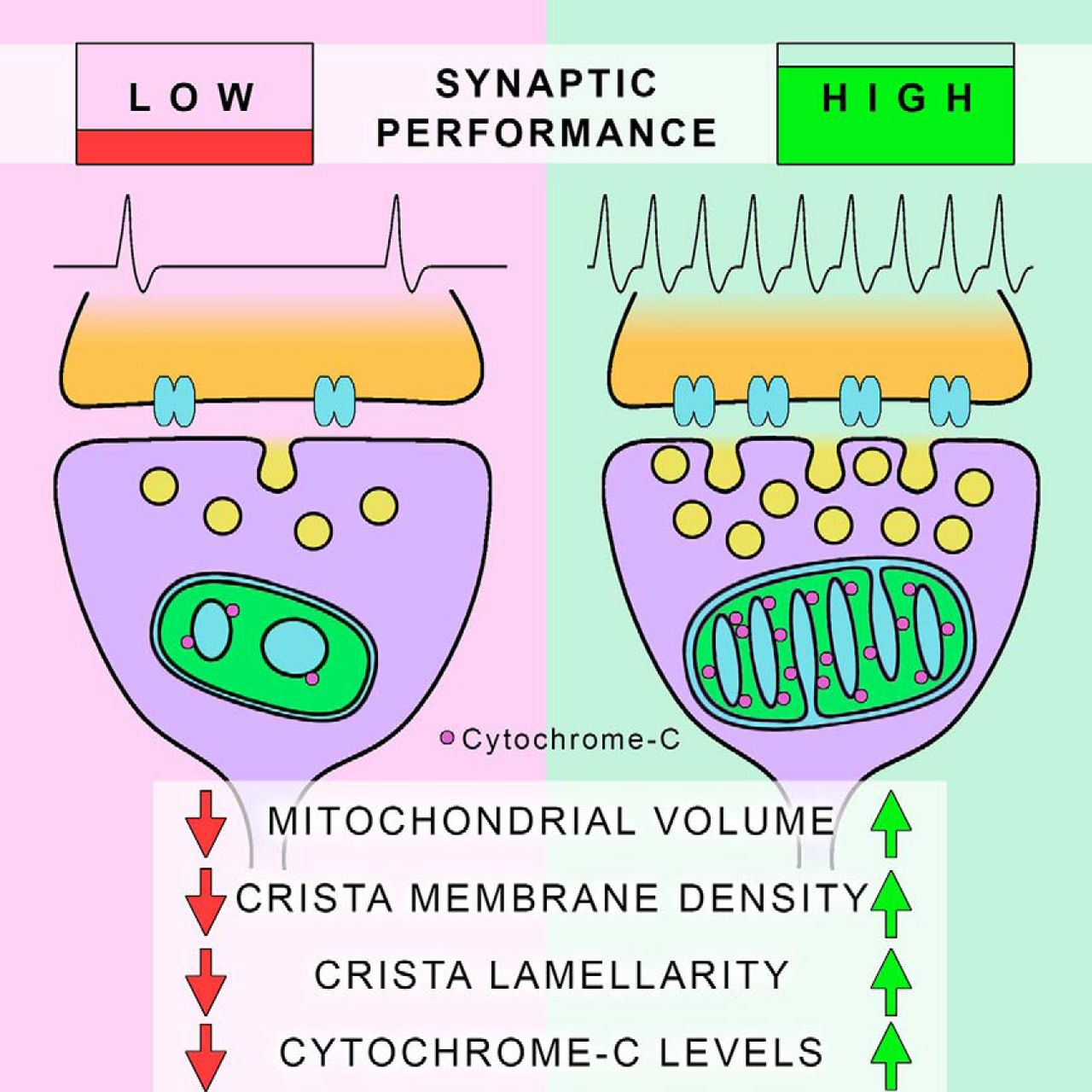 Mitochondrial Ultrastructure Is Coupled To Synaptic Performance At