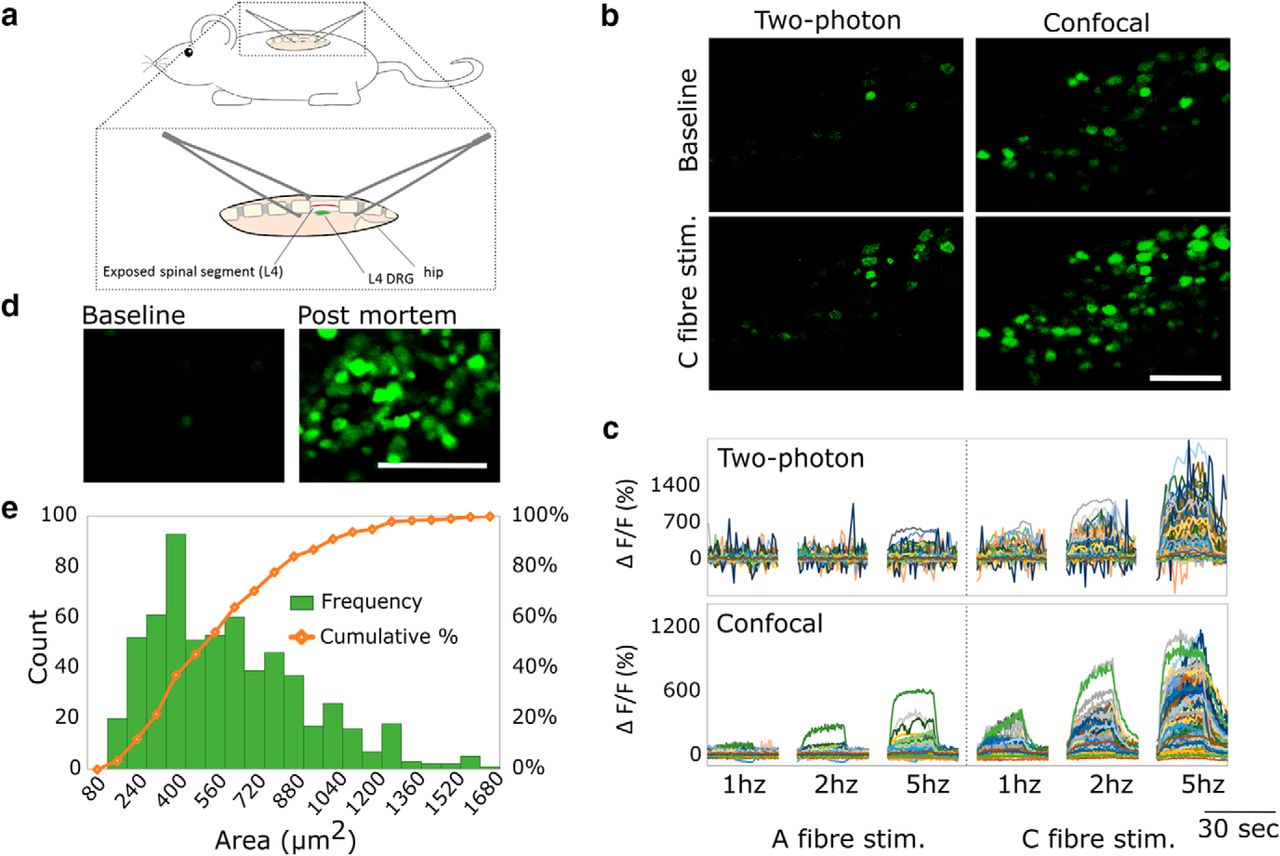 Large Scale In Vivo Recording of Sensory Neuron Activity with GCaMP6   eNeuro