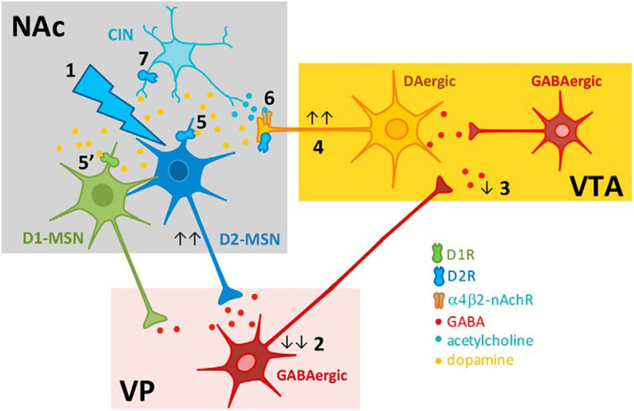 Nucleus Accumbens Microcircuit Underlying D2-MSN-Driven Increase in