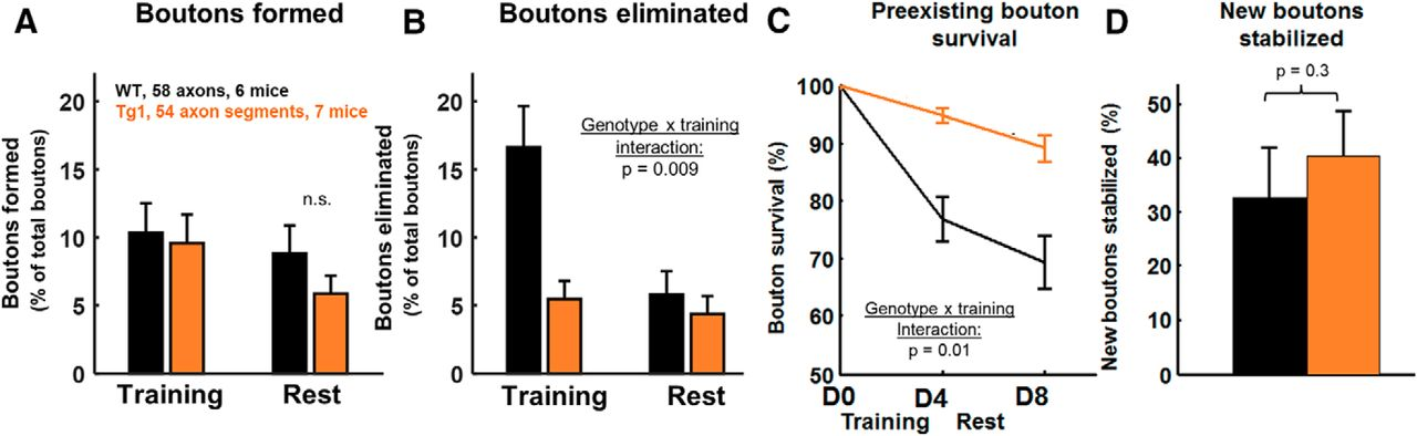 Increased Axonal Bouton Stability during Learning in the Mouse Model