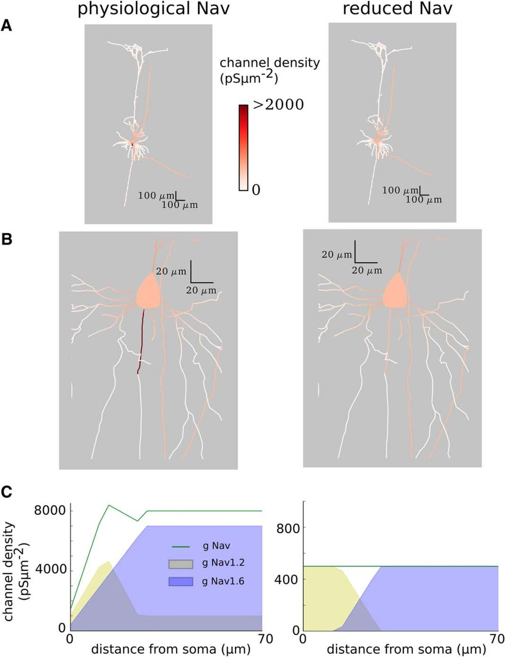 Contribution of the Axon Initial Segment to Action Potentials