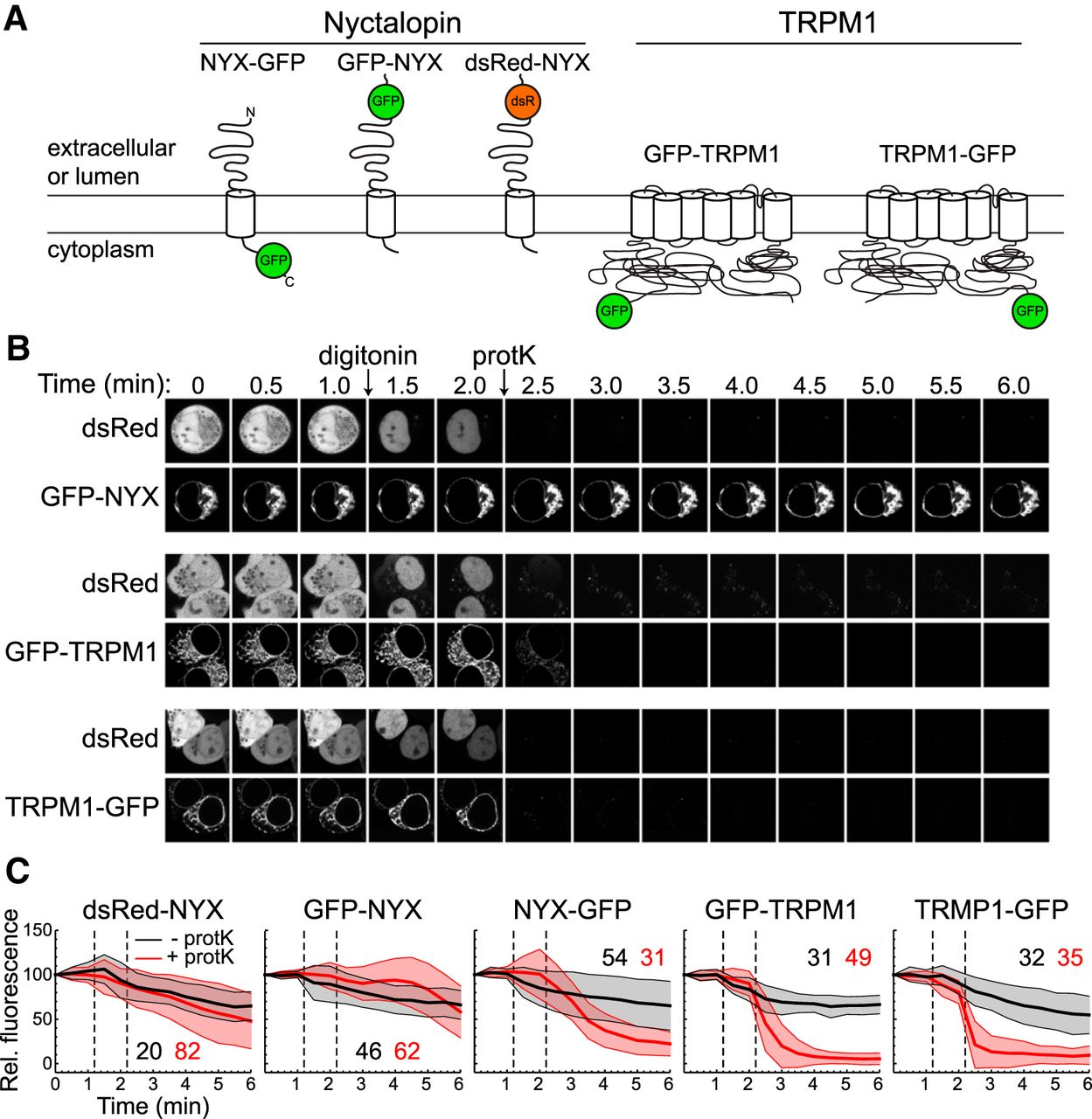 A Large Endoplasmic Reticulum Resident Pool Of Trpm1 In Retinal On Worthington C Wiring Diagram Download Figure