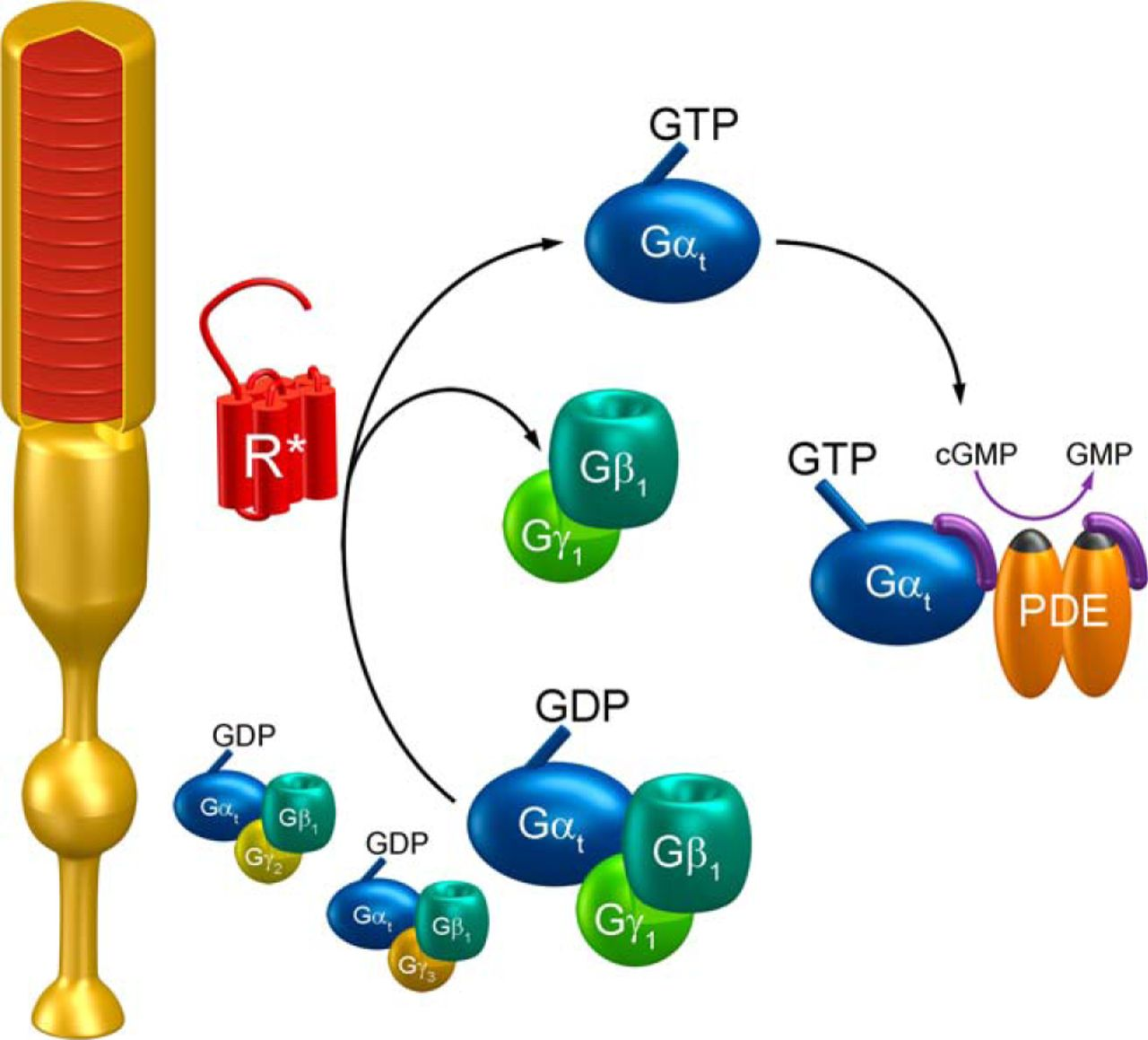 Transducin β-Subunit Can Interact with Multiple G-Protein γ