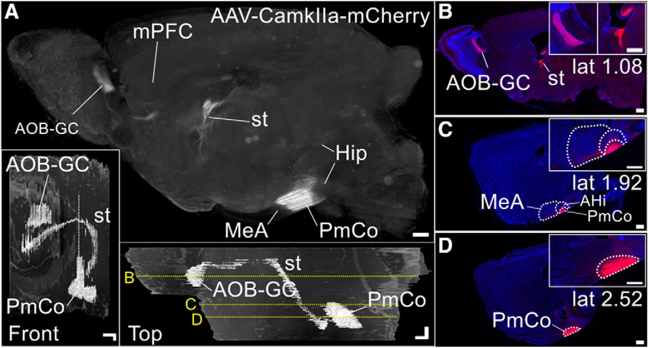 Amygdala Corticofugal Input Shapes Mitral Cell Responses in