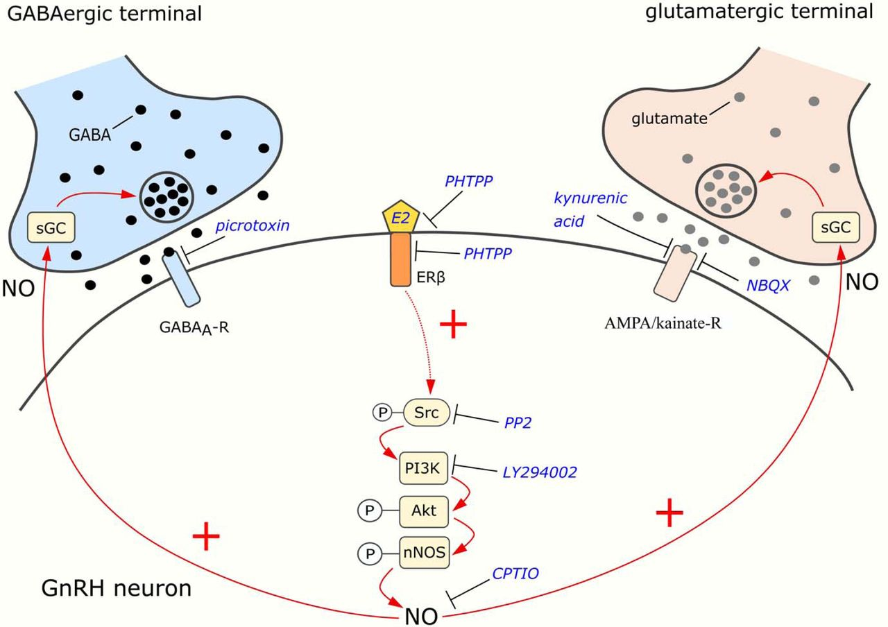 Estradiol Increases Glutamate And Gaba Neurotransmission Into Gnrh 2002 4 6l Triton Engine Diagram Download Figure