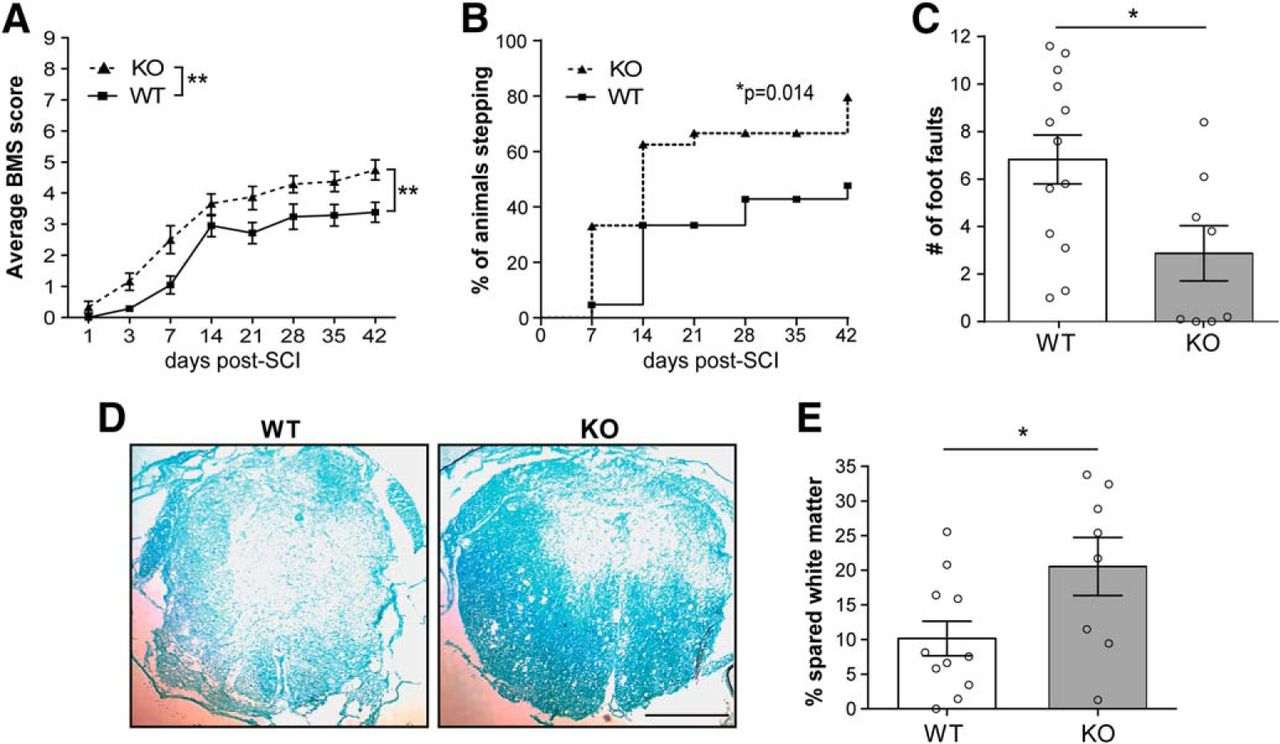 Early Targeting of L-Selectin on Leukocytes Promotes Recovery after