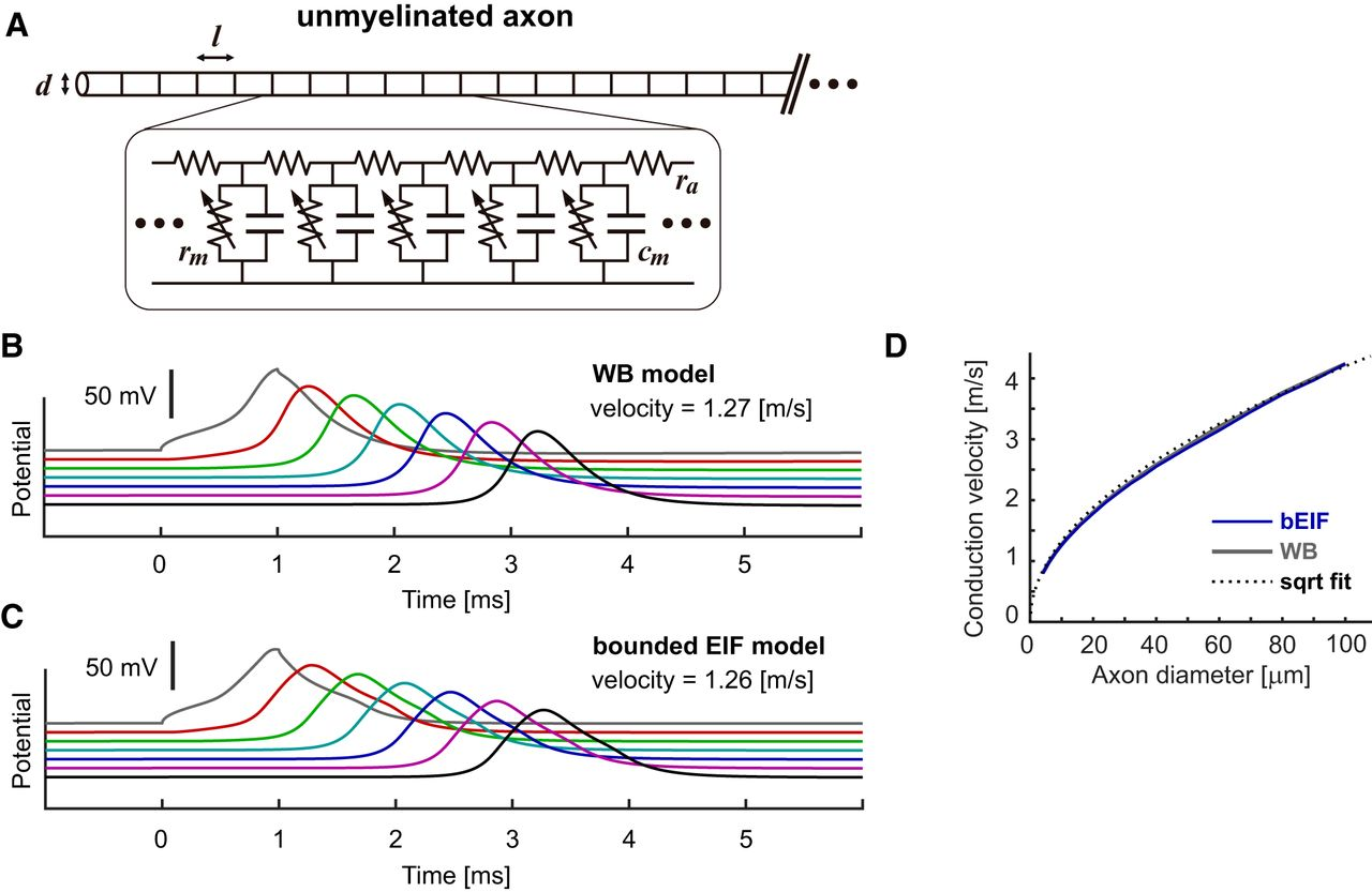 Spike-Conducting Integrate-and-Fire Model | eNeuro