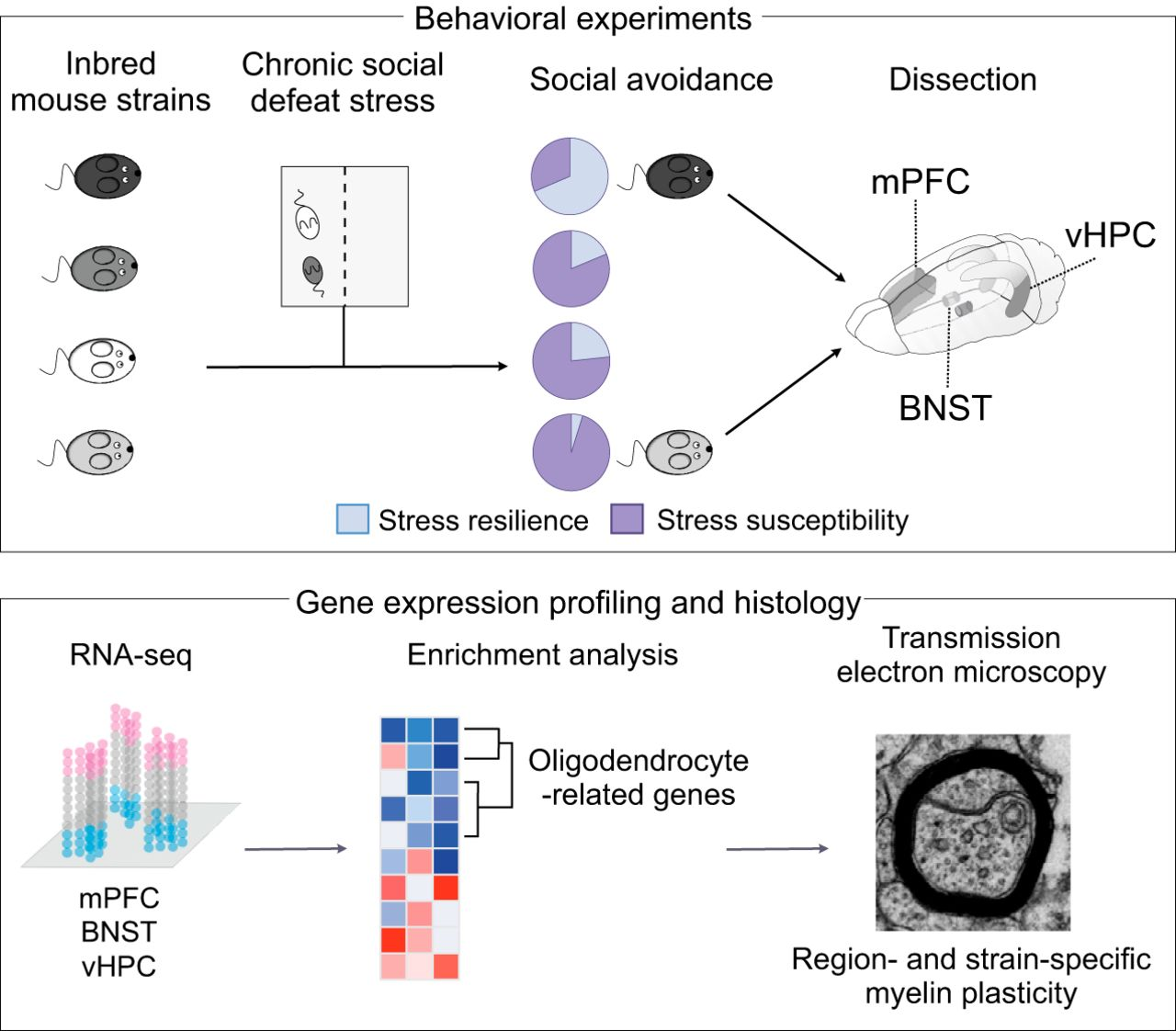 Social Stress Brain Circuitry Fails To >> Genetic Control Of Myelin Plasticity After Chronic Psychosocial