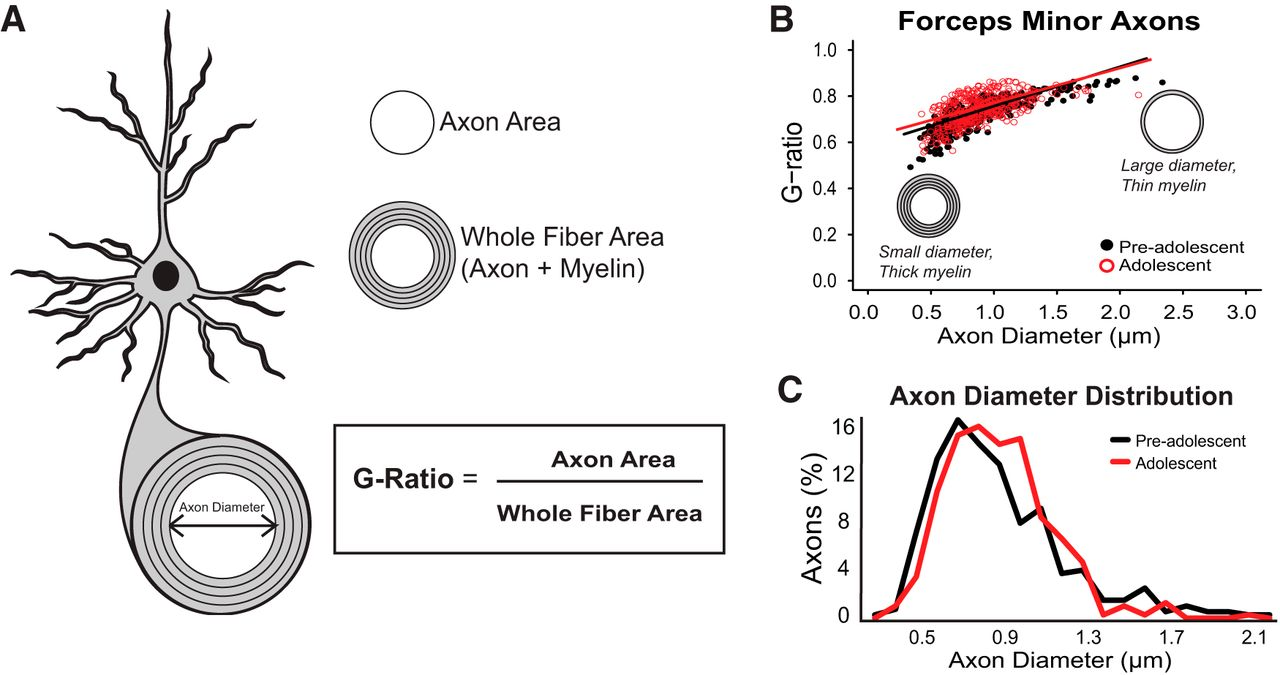 Myelination Of Axons Corresponds With Faster Transmission Speed In Old Block Diagram And Pare This Figure2 The New Download Figure Open Tab