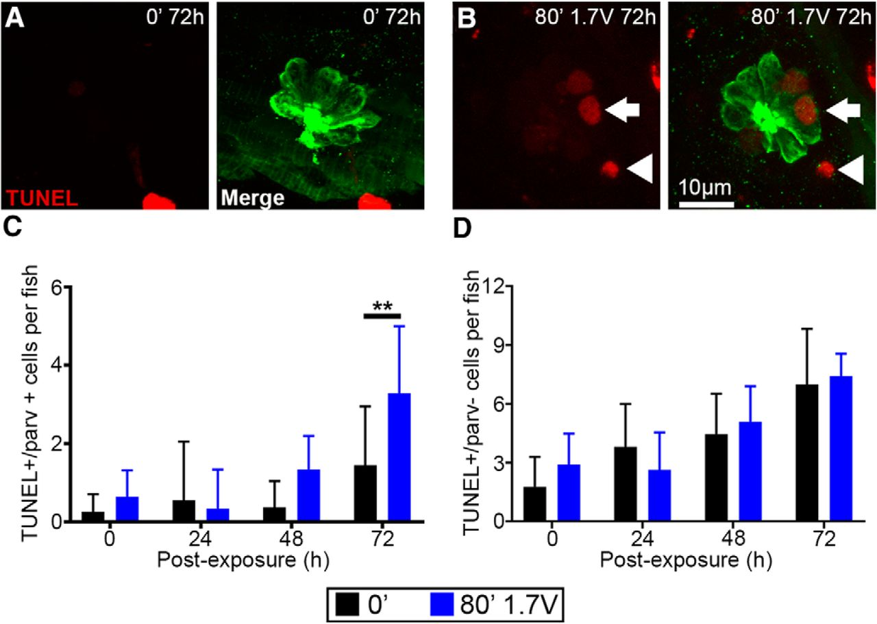 Larval Zebrafish Lateral Line as a Model for Acoustic Trauma