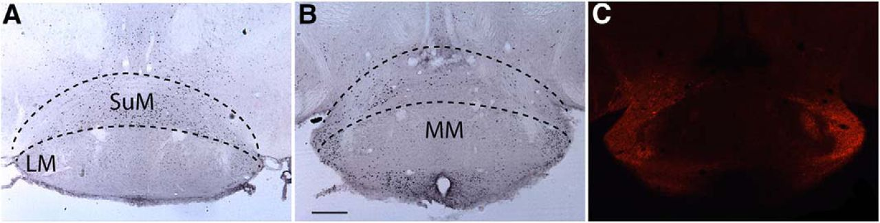 Parallel Arousal Pathways in the Lateral Hypothalamus | eNeuro