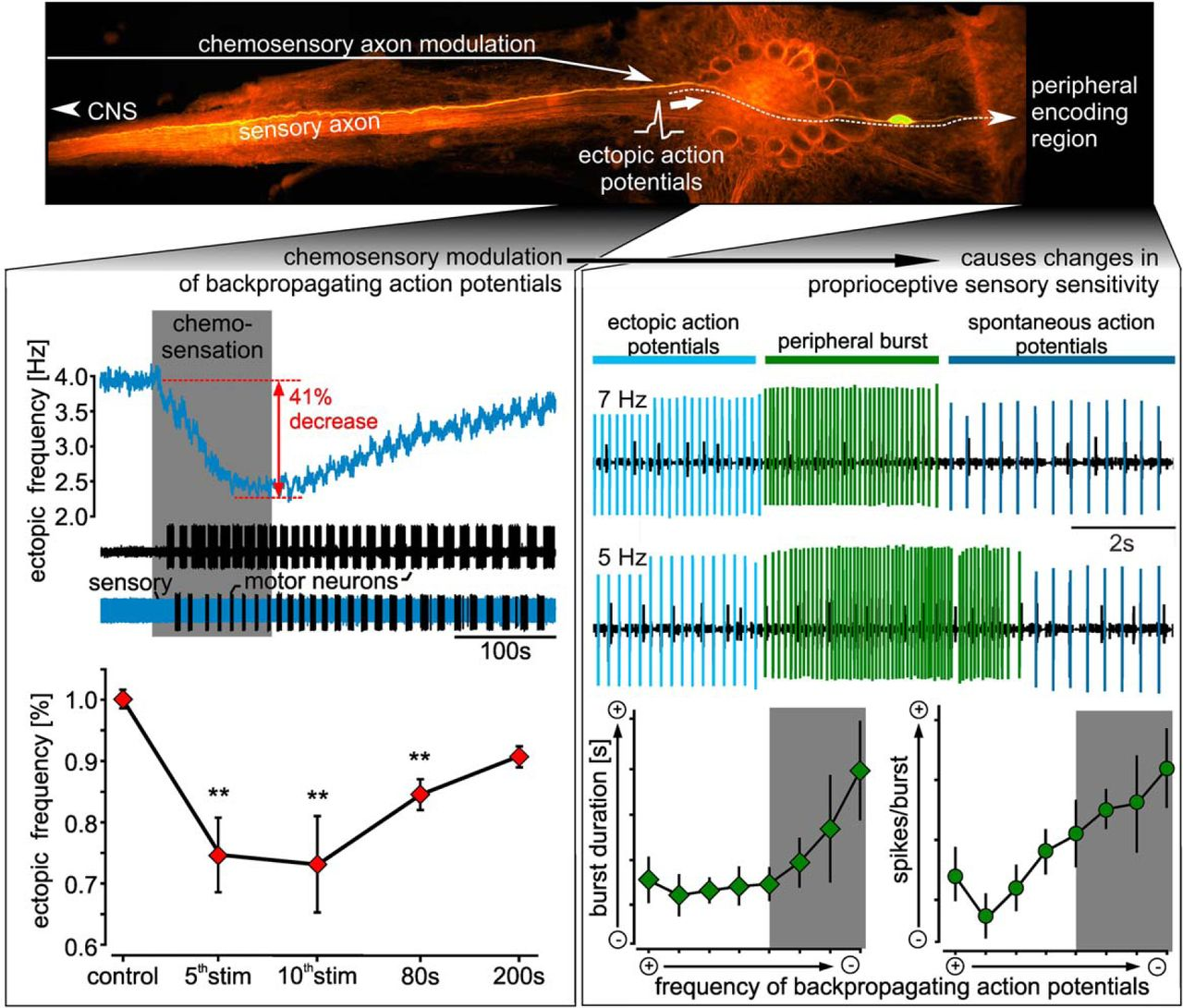 State Dependent Modification Of Sensory Sensitivity Via Modulation Figure1 Color Sensor Circuit Download Figure