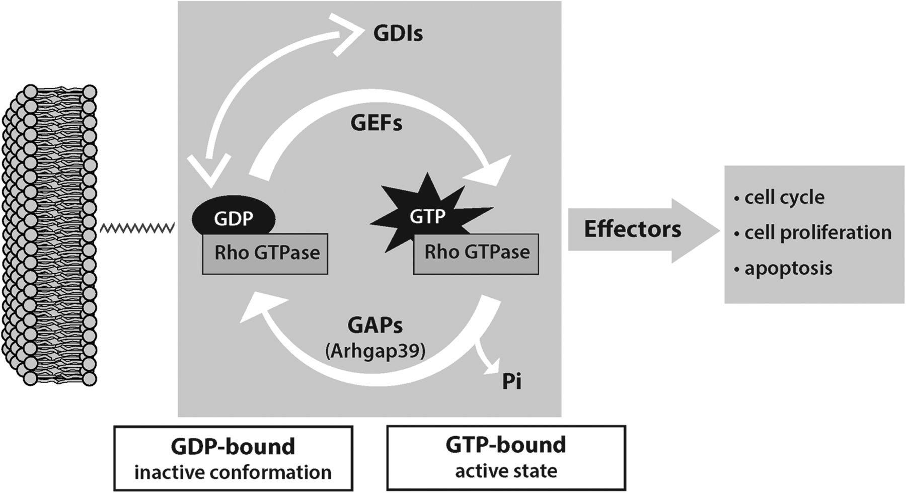 Porf-2 = Arhgap39 = Vilse: A Pivotal Role in