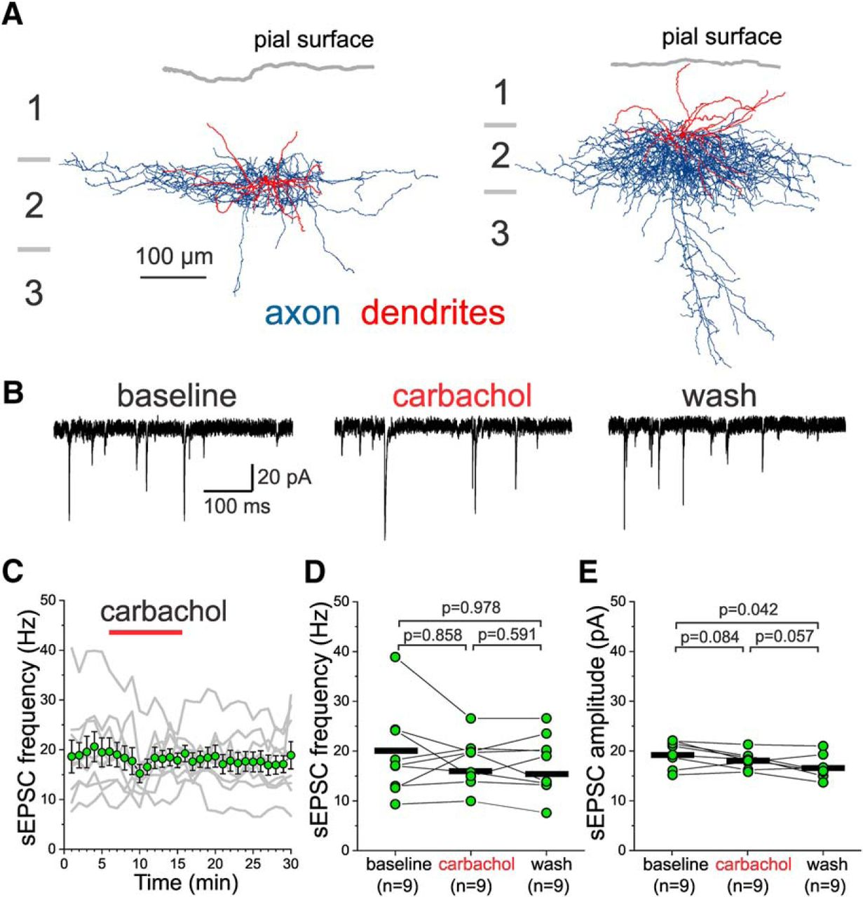 Cell Type- and Layer-Specific Muscarinic Potentiation of