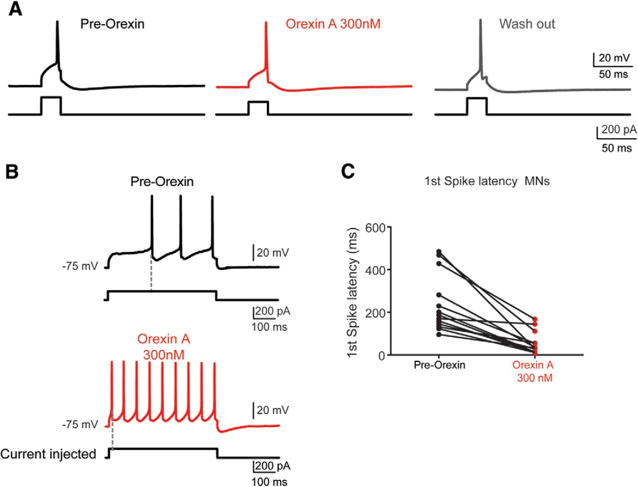 Orexinergic Modulation of Spinal Motor Activity in the