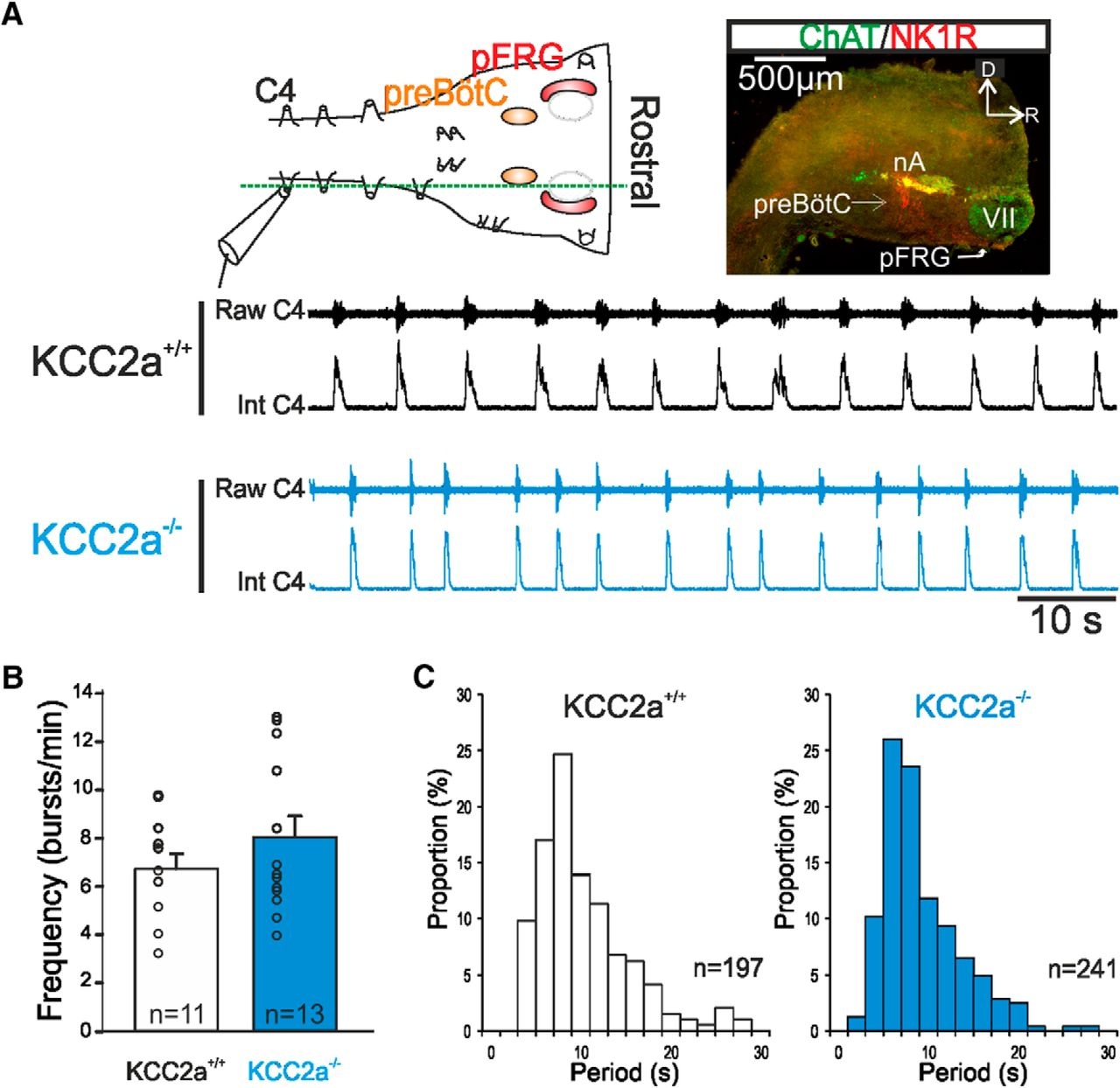 Role of the K+-Cl– Cotransporter KCC2a Isoform in Mammalian