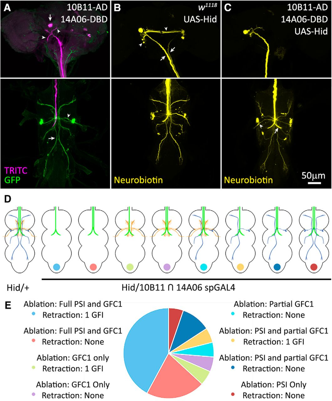 Newly Identified Electrically Coupled Neurons Support Development Of Logic Diagram In Powerpoint Figure 6 Gfc Gf Circuit