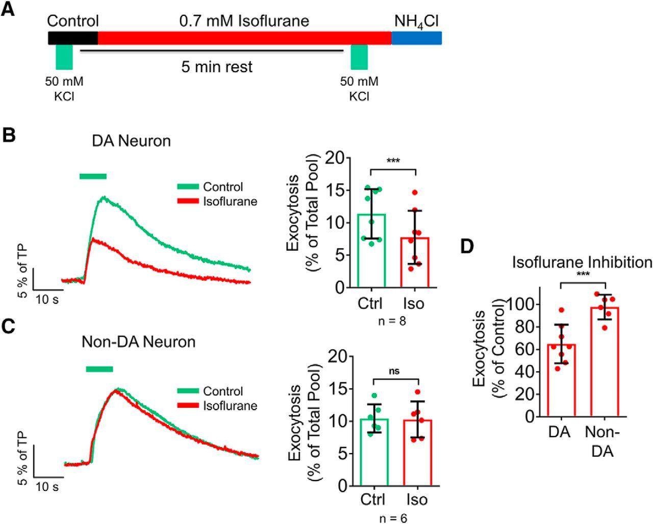 Isoflurane Inhibits Dopaminergic Synaptic Vesicle Exocytosis