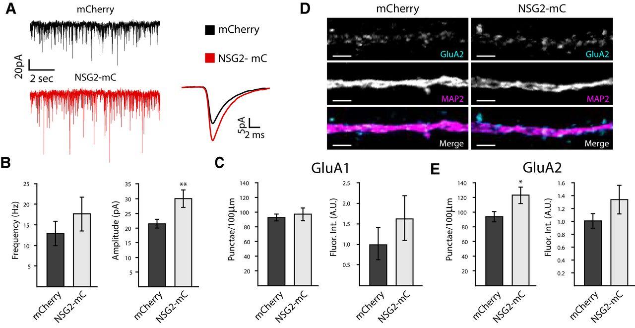 Neuron-Specific Gene 2 (NSG2) Encodes an AMPA Receptor