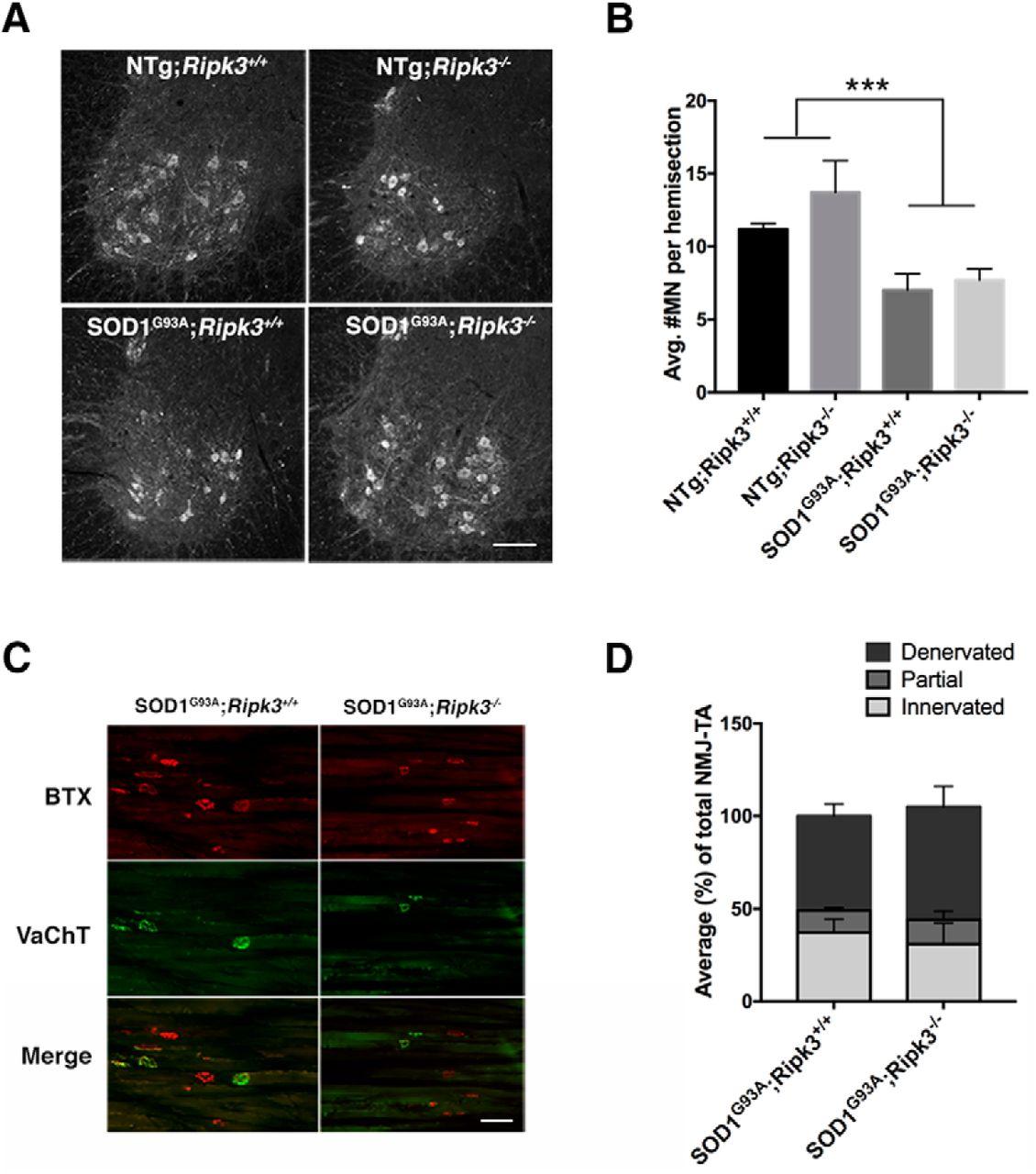 Deletion Of Ripk3 Prevents Motor Neuron Death In Vitro But Not In Vivo Eneuro