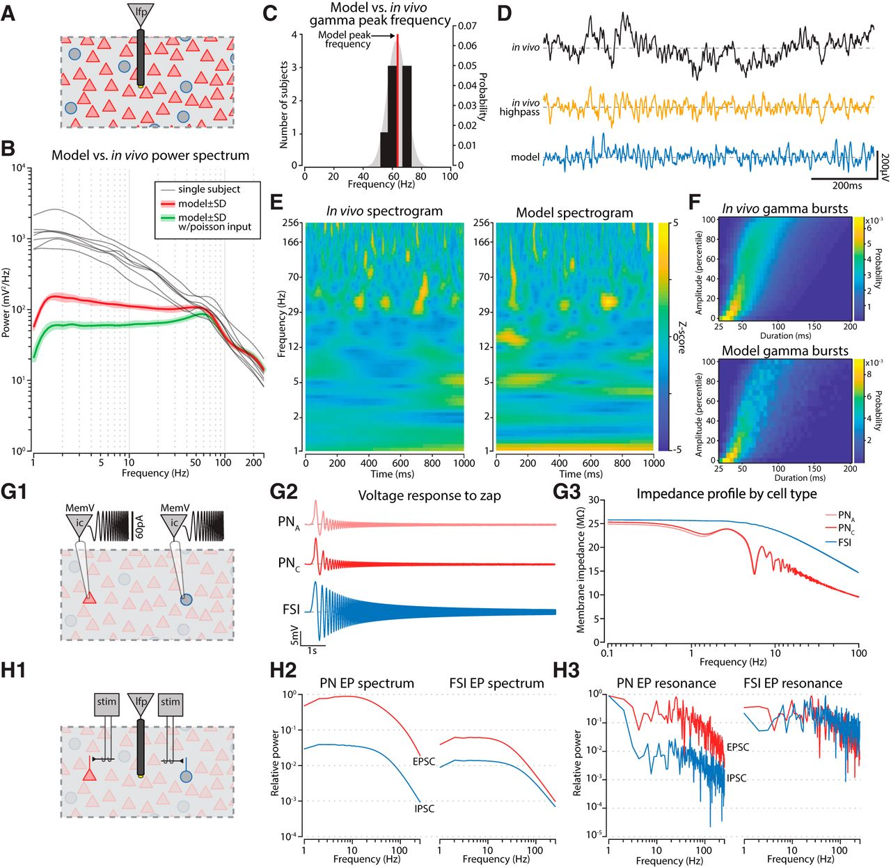 Gamma Oscillations in the Basolateral Amygdala: Biophysical