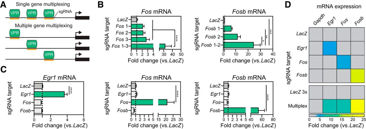 A Neuron-Optimized CRISPR/dCas9 Activation System for Robust